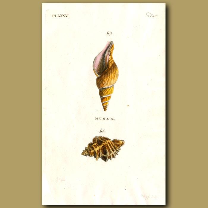 Antique print. Urchin and Horny Murex shells