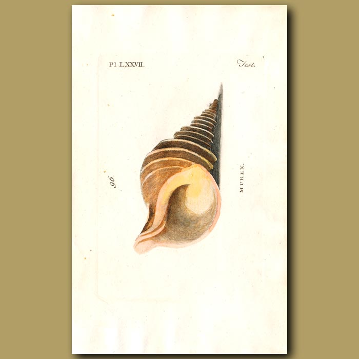 Antique print. Angulated Murex shell