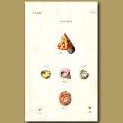 Livid, Cornule, Land Top shells