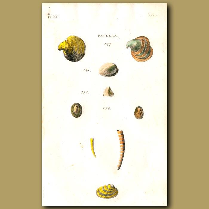 Antique print. Limpet shells