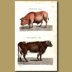 Highland Bull and Lancashire Cow