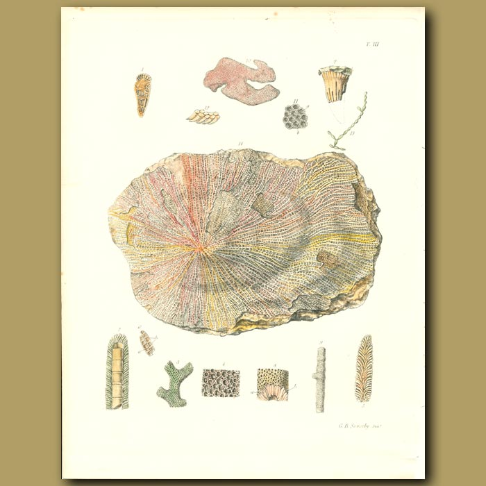 Antique print. Fossil Coral