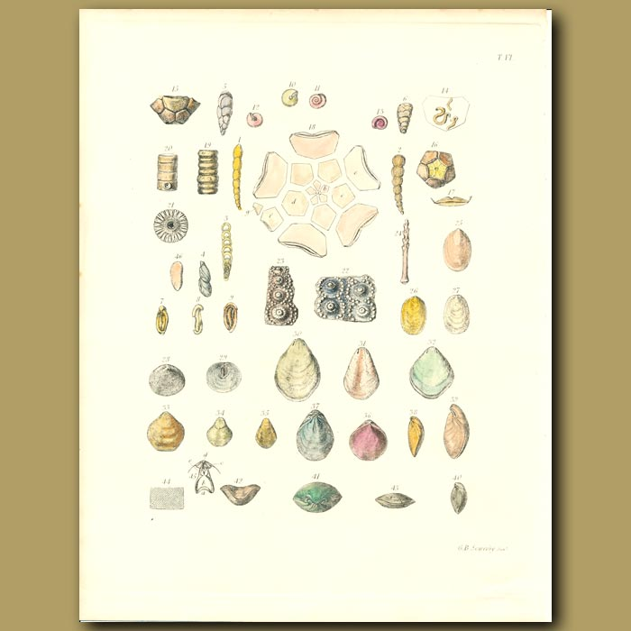 Antique print. Fossil Seashells