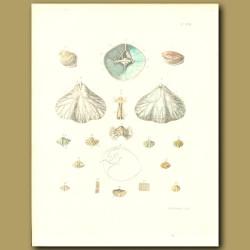 Fossil Seashells (Camaraphoria)
