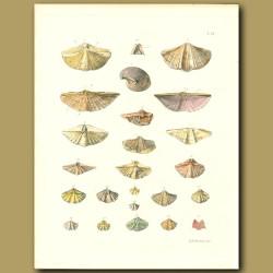 Fossil Seashells (Trigonotreta)