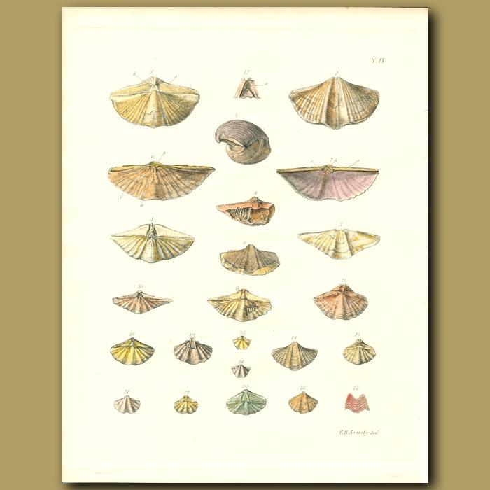 Antique print. Fossil Seashells (Trigonotreta)