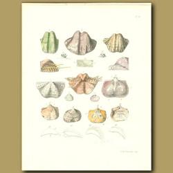 Valve Seashell Fossils