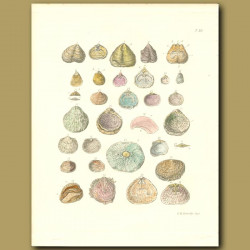 Fossil Seashells (Strophalosia)