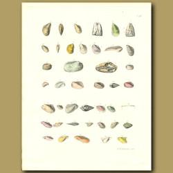 Fossil Seashells (Mussels)