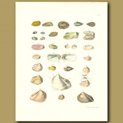 Fossilized Seashells (Arca)