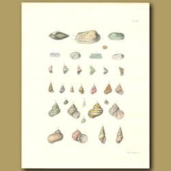 Turbo Seashell Fossils