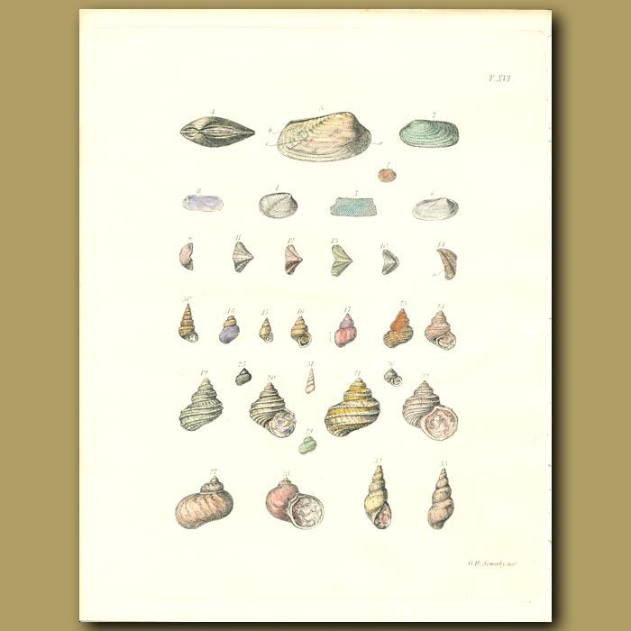 Antique print. Turbo Seashell Fossils