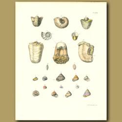Fossil Nautilus Shells
