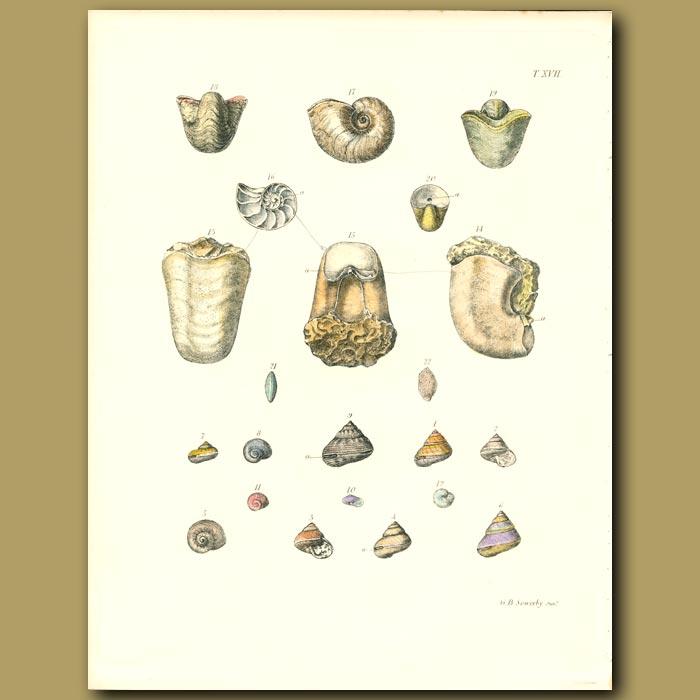 Antique print. Fossil Nautilus Shells