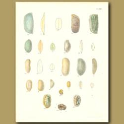 Fossil Seashells (Valva)