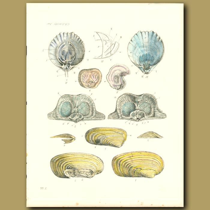 Antique print. Fossil Seashells (Valva)