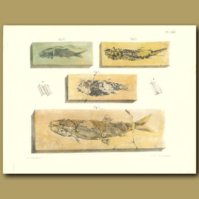 Antique print. Fossil Fish (Palaeoniscus)