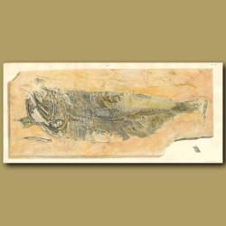 Fossil Fish (Pygopterus Latus)
