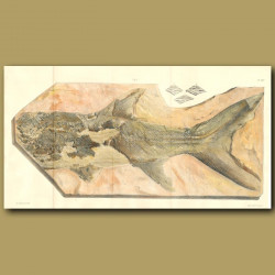 Fossil Fish (Acroplepis Sedgwickii)