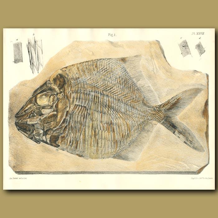 Antique print. Fossil Fish