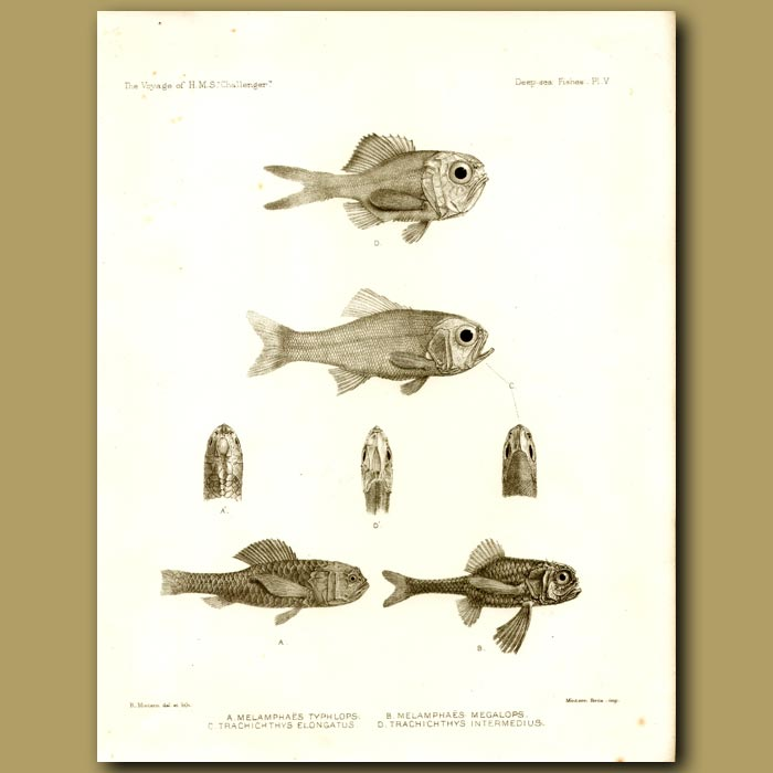 Antique print. Slender Roughy And Roughy