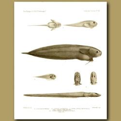 Litten Snottfisk, Black Seasnail And Snailfish
