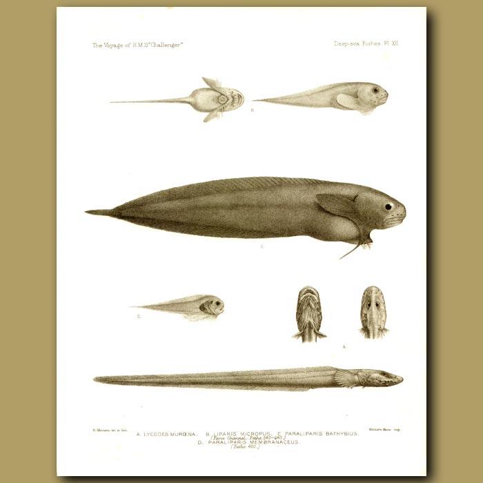 Antique print. Litten Snottfisk, Black Seasnail And Snailfish