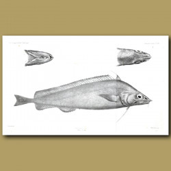 Finescale Codling