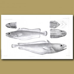 Morid Cod and Tadpole Codling