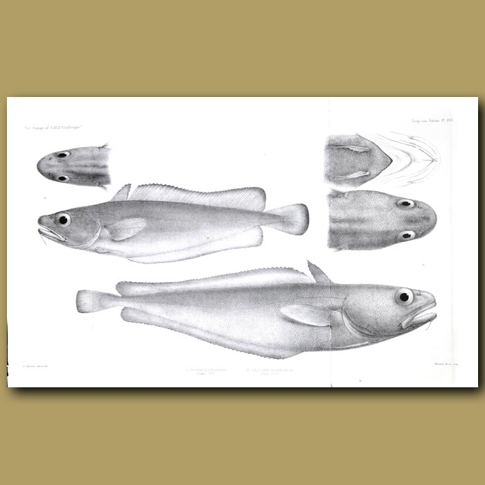 Antique print. Morid Cod and Tadpole Codling