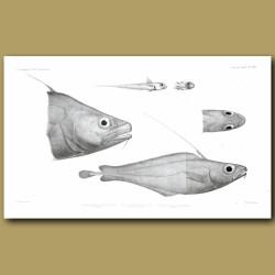 Morid Cod, North Atlantic Codling