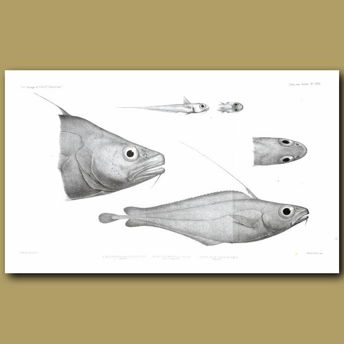 Antique print. Morid Cod, North Atlantic Codling