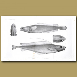 Patagonian Codling And Silvery Codling