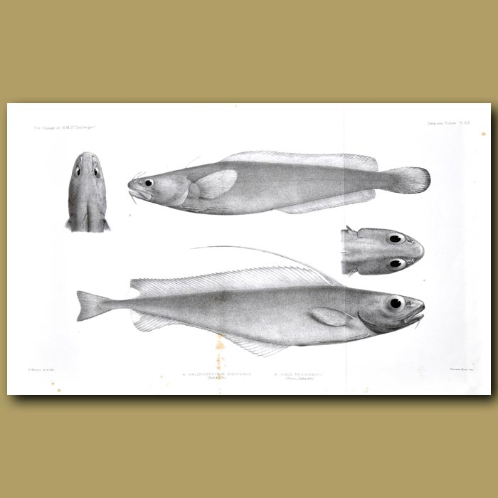 Antique print. Patagonian Codling And Silvery Codling