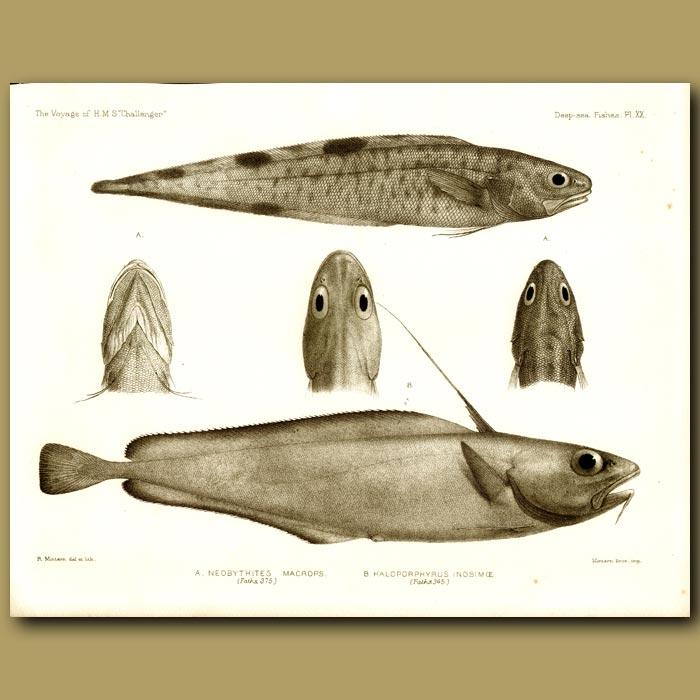 Antique print. Black-Edged Cuck Eel And Morid Cod