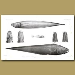 Abbysal Assfish, Cusk Eel And Ray-Finned Fish