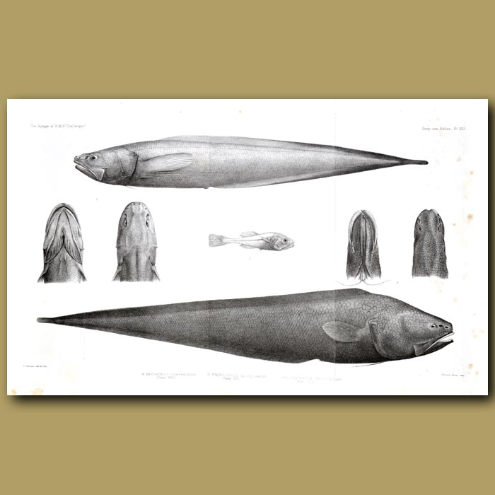 Antique print. Abbysal Assfish, Cusk Eel And Ray-Finned Fish
