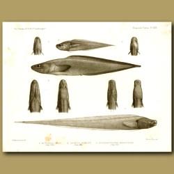 Hairlip Brotula, Ray-Finned Fish