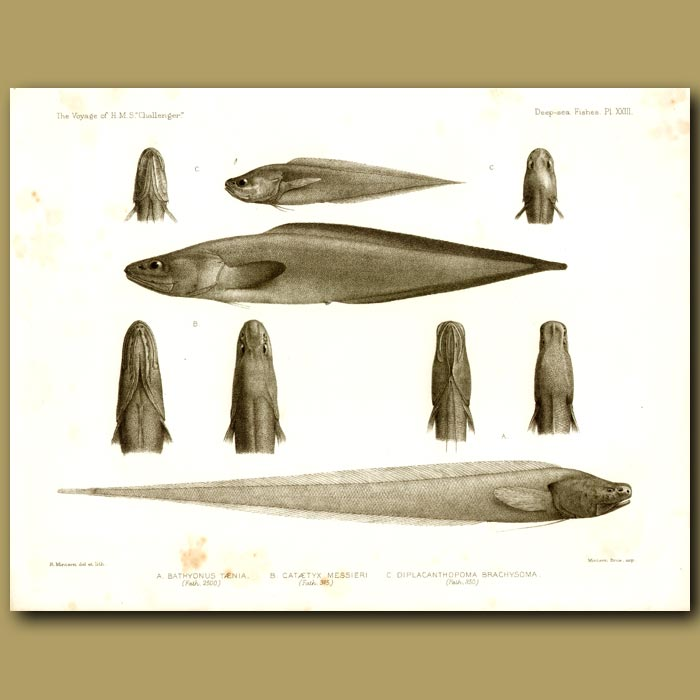 Antique print. Hairlip Brotula, Ray-Finned Fish