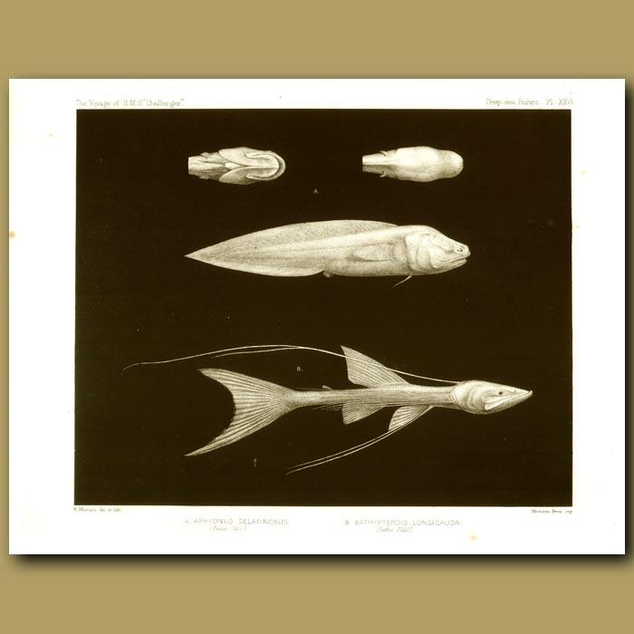 Antique print. Gelatinous Blindfish, Telescope Fish