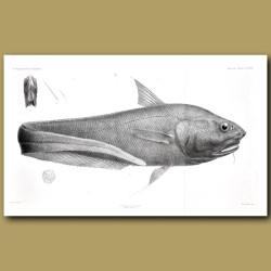 New Zealand Deep Sea Fish