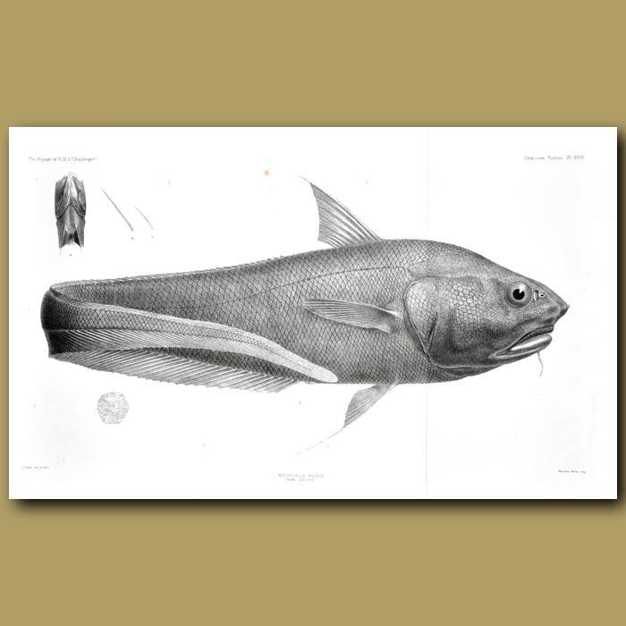 Antique print. New Zealand Deep Sea Fish