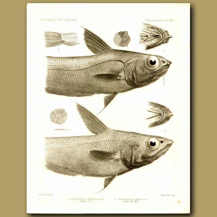 Antique print. Serrulate Whiptail, Large-Nose Grenadier