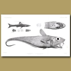 Ridge-Tailed Rattail, Tripod Fish