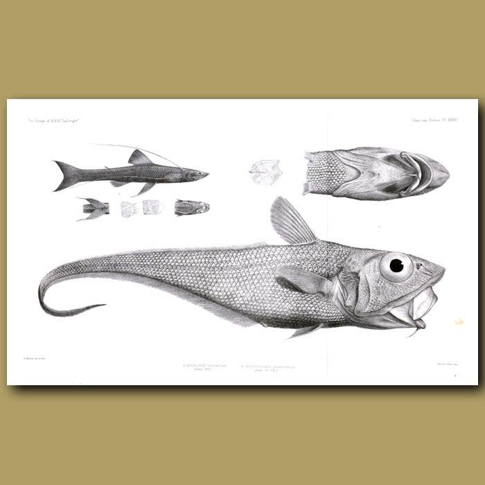 Antique print. Ridge-Tailed Rattail, Tripod Fish