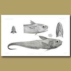 Snaketooth Fish, Softhead Grenadier