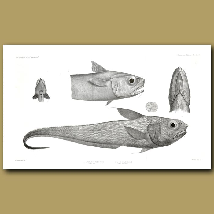 Antique print. Snaketooth Fish, Softhead Grenadier