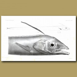 Poey's Scarbbardfish