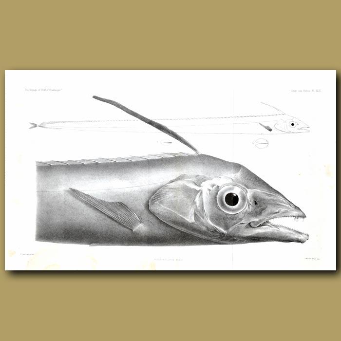 Antique print. Poey's Scarbbardfish