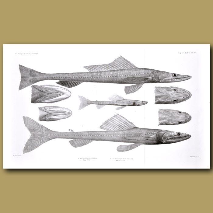 Antique print. Deepsea Lizardfish, High Fin Lizardfish